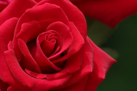 red-roses-flower-rose-pictures-333